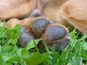 patte et coussinet d'un chien marron couché dans l'herbe par coach canin 16 en charente