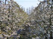 Mein-Kirschbaum.de