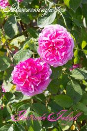 Rosen Hexenrosengarten Strauchrose David Austin pink Duftrose Gertrude Jeckyll
