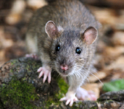 Lutte et traitement contre les rats, souris, mulots, loirs, Vaucluse, Orange, Avignon, Bollène, 84, Gard, Drome