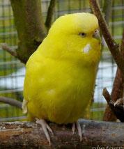 doppelfaktoriger Spangle, gelb, AGG (Limo)