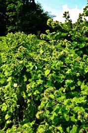 美菜ガルテンふるかわ 無肥料無農薬で野菜を育てるきみこの菜園日記