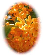 【金木犀】桂花陳酒に使われる可憐で甘い香り。肌のターンオーバーを助けます。