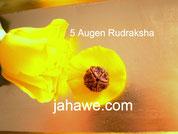 5 Augen Rudraksha 29,--