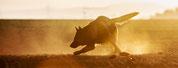 Franziska Spohn Fotografie - Tiershooting, Hundeshooting, Outdoorshooting, Sonnenaufgang, Deutscher Schäfehund