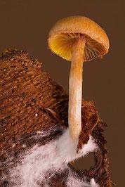 sur ceu champignon, on observe facilement les myceliums, le pied, le chapeau avec les lamelles avec abscence d'anneau.