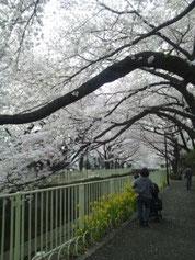 桜を撮影する人の姿も