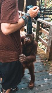 Orang Utan klettert Menschen hoch