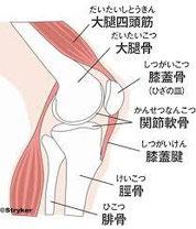 膝は、骨と軟骨それを取り巻く筋肉、筋などでつくられています