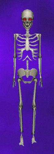 squelette debout