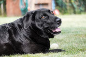 gros labrador noir tire la langue couché au soleil avec une balle entre ses pattes par coach canin 16 votre educateur canin en charente