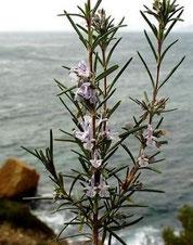 Rosmarinus officinalis (Corse)