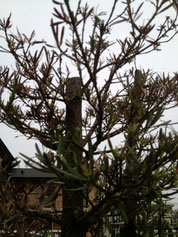 の 剪定 まき の 木