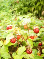 Monatserdbeere- Pflanze mit Beeren