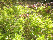 Majoranpflanze