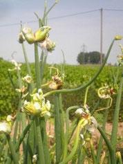 Etagenzwiebelpflanze im Juni mit Zwiebeln