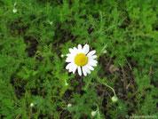 römische Kamille mit Blüte
