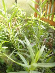 Estragonpflanze