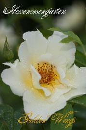 Rosen Hexenrosengarten Strauchrose Shepherd gelb Staubfäden Golden Wings
