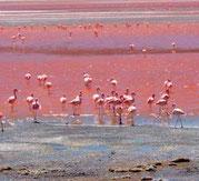 Flamingos in der Roten Lagune Foto: Setours Arvhiv Paititi-Tours