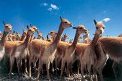 Vicunas, Pampa Galeras Nationalpark, Peru, Paititi Tours