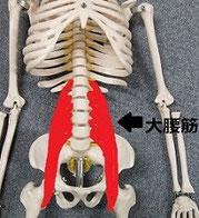 骨格模型で大腰筋を示した画像