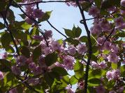 Blühender Japanischer Mandelbaum