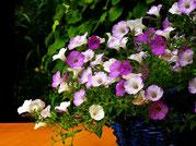 Petunien hängend lavendelfarben