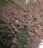 赤葉トキワマンサク(赤花)