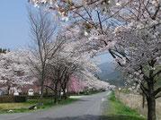 付知川河川敷の桜並木