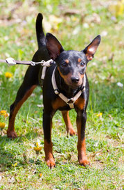 Zwergpinscher Welpe Hündin, Hund