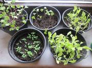 Pflanzen Voranzucht