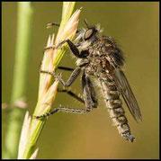 Säbel-Raubfliege - Dysmachus trigonus - Männchen