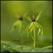 Vierblättrige Einbeere - Paris quadrifolia - Blüte