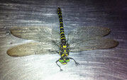 Eine riesen Libelle landet auf dem Werkbank.