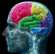 Gehirn in Schädel