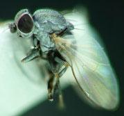 Leucopsis