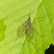 ユミアシヒメフタマタアミカ Philorus viridis