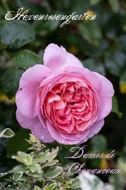 Rosen Hexenrosengarten Floribunda Delbard Duftrose Dames de Chenonceau