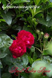 Rosen Hexenrosengarten Strauchrose Meilland rot Red Eden Rose