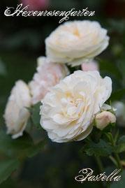 Rosen Hexenrosengarten Floribunda Tantau weiß rosa pastell Pastella