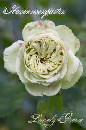 Rosen Hexenrosengarten Beetrose Meilland weiß grün Lovely Green