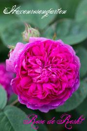 Rosen Hexenrosengarten Damaszener Persien pink Duftrose Rose de Resht