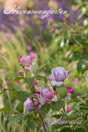 Rosen Hexenrosengarten Beetrose Kordes mauve lila blau Rose Novalis