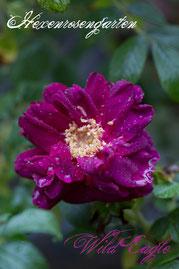 Rosen Hexenrosengarten Rugosa Ruf pink lila blau Wild Eagle