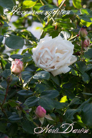 Rosen Hexenrosengarten Kletterrose Summerset Rose Nursery rosa porzellanrosa New Dawn