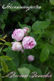 Rosen Hexenrosengarten Bourbon Fontaine weiß rosa pink gestreift mehrfarbig Duftrose Province Panachee
