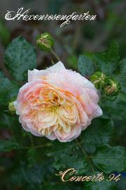 Rosen Hexenrosengarten Strauchrose Meilland gelb rosa Concerto 94