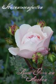 Rosen Hexenrosengarten Polyantha Sport Spek rosa Rosa Gruss an Aachen