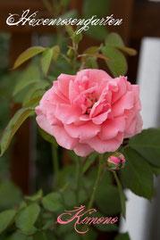 Rosen Hexenrosengarten Floribunda de Ruiter rosa Kimono
